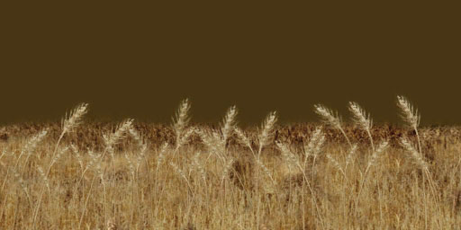 wheat_field_wall.copy.jpg